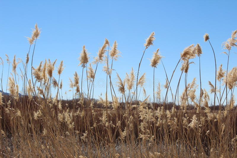 Desert Grasses. Grasses at the edge of feeding area at Bosque del Apache stock image