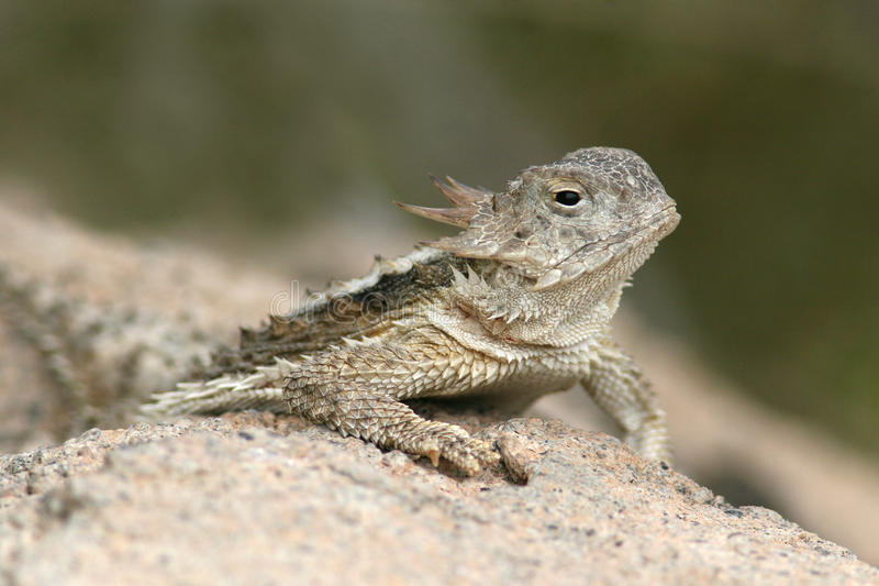 Desert Horned Lizard (Phrynosoma platyrhinos) royalty free stock photo