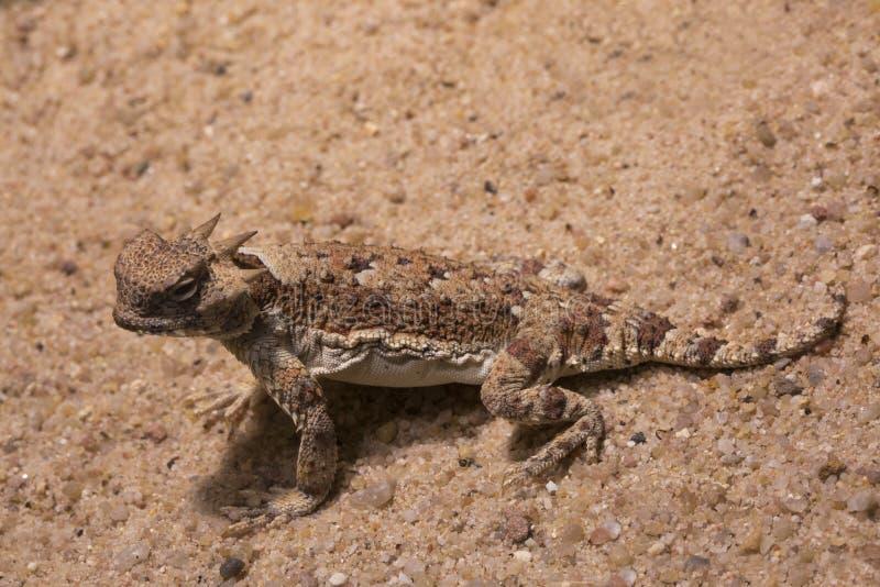 The Desert Horned Lizard Phrynosoma platyrhinos. The Desert Horned Lizard Phrynosoma platyrhinos in zoo royalty free stock images