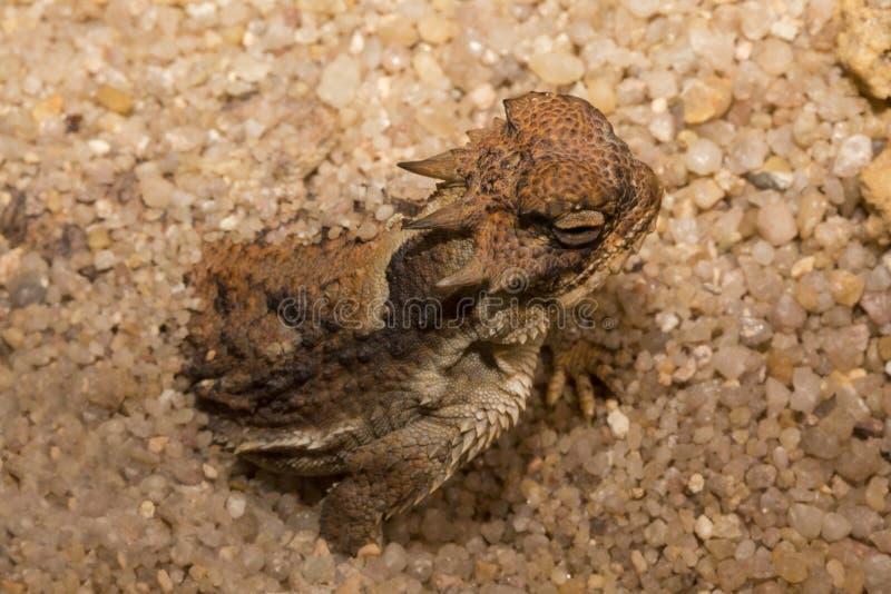 The Desert Horned Lizard Phrynosoma platyrhinos. The Desert Horned Lizard Phrynosoma platyrhinos in zoo stock photos