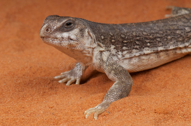Desert Iguana royalty free stock photography