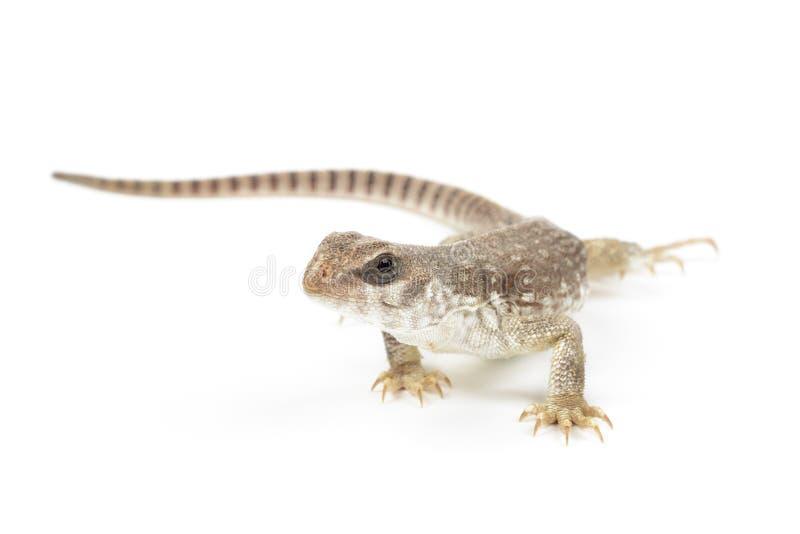 Desert Iguana royalty free stock images
