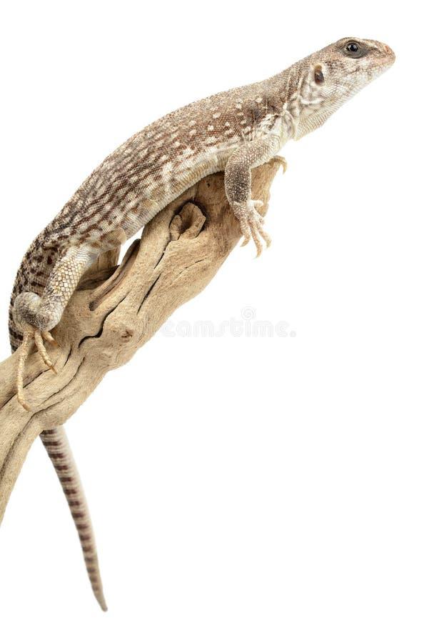 Desert Iguana royalty free stock image