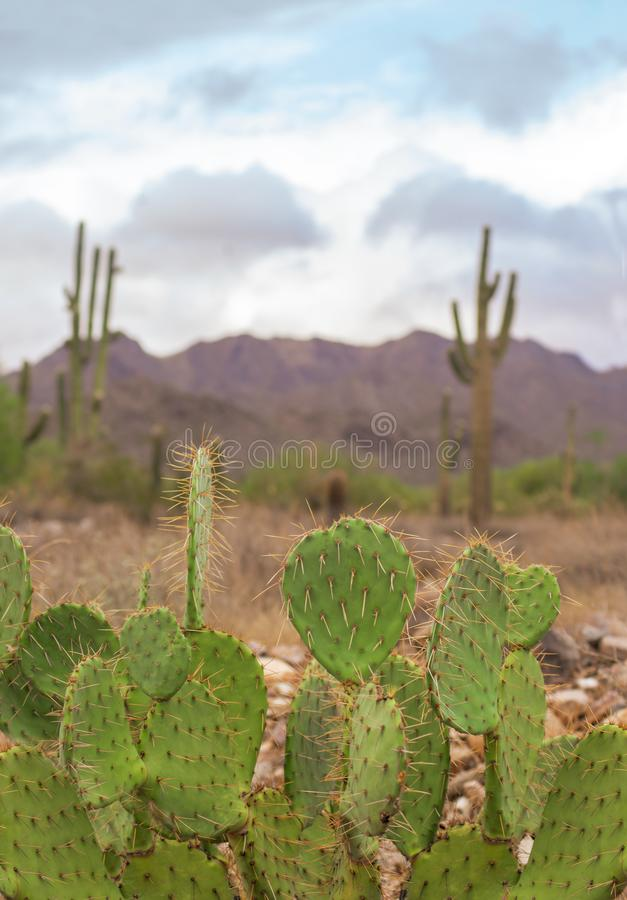 Desert landscape, cactus trees and mtn background in Scottsdale,Az,USA royalty free stock photography