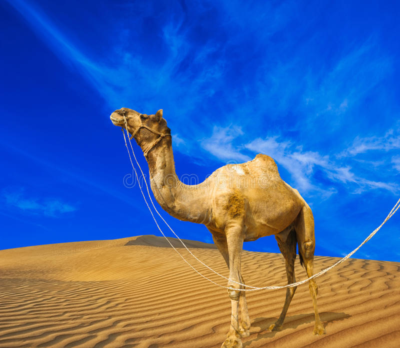 Sand, camel and blue sky with clouds. Desert landscape. Sand, camel and blue sky with clouds. Travel adventure background royalty free stock photography