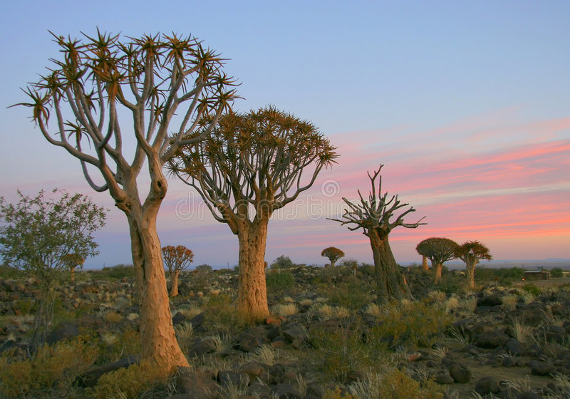 Desert landscape at sunset with a quiver tree royalty free stock images