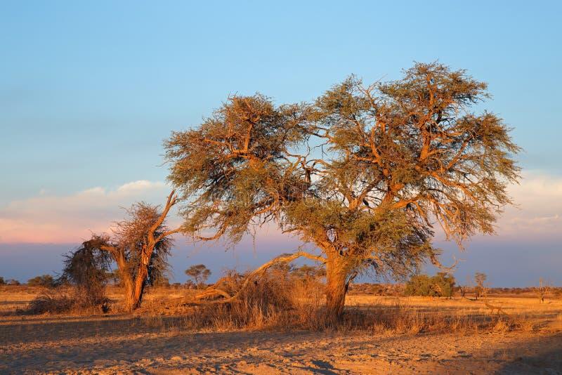 Kalahari desert landscape - South Africa. Desert landscape with a thorn tree at sunset, Kalahari desert, South Africa stock images