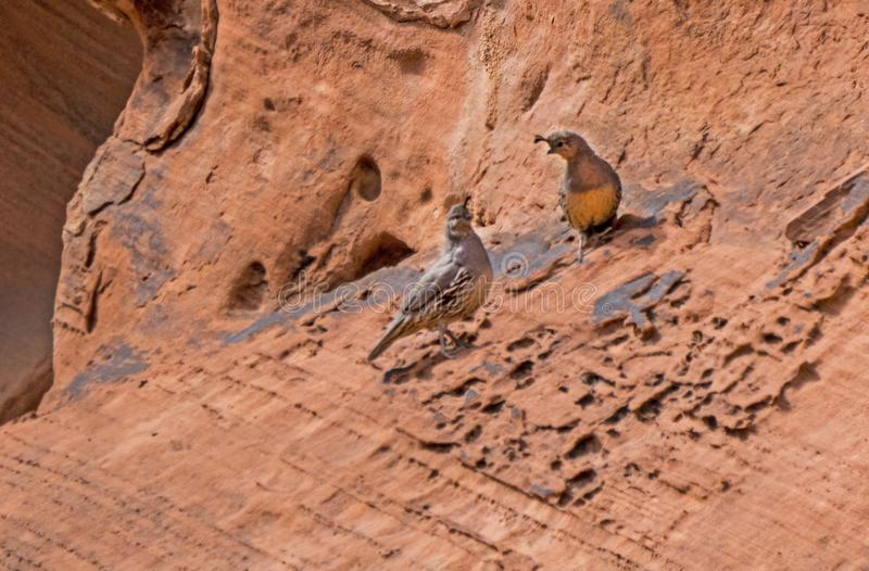 Two Gambits Quail survive in the desert habitat. In the desert landscape, two Gambit`s Quail perch on a sandy rock stock photography