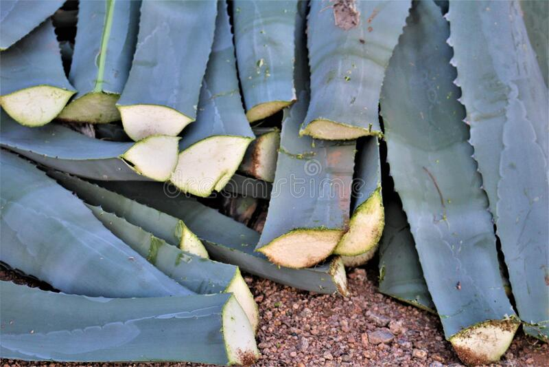 Desert landscape view of Agave cactus, Sonoran Desert, Maricopa County, Arizona. View of desert Agave cactus in the Sororan Desert, located in Maricopa County stock photography