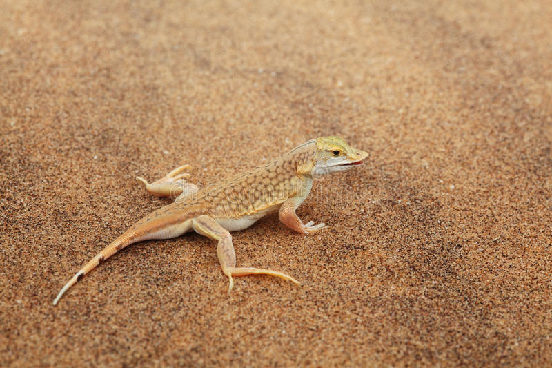 Download Desert lizard stock photo. Image of coloured, transparent - 18682016