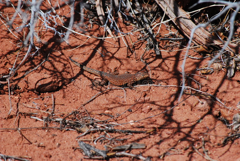 Download Desert Lizard stock image. Image of exploration, hiking - 9208509