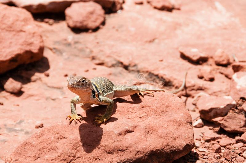 Desert lizard sunning of red rocks royalty free stock photos