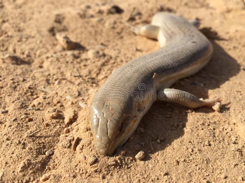 Desert lizard royalty free stock photography