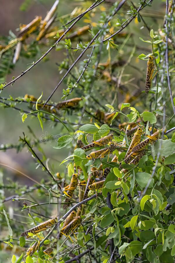 Free Desert Locusts Eating Lush New Vegetation After Drought Breaking Rains. It`s A Swarming Short-horned Grasshopper,  Schistocerca Royalty Free Stock Images - 210747689