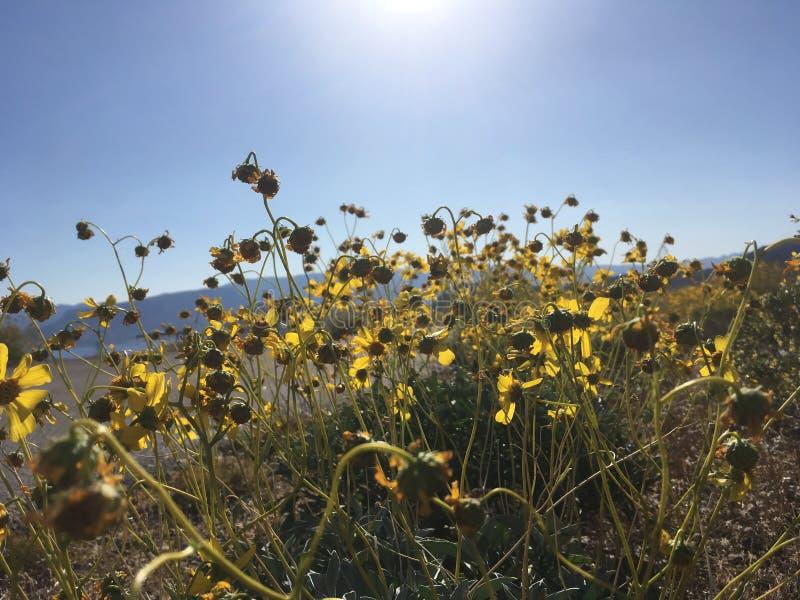 Desert Marigolds stock photo