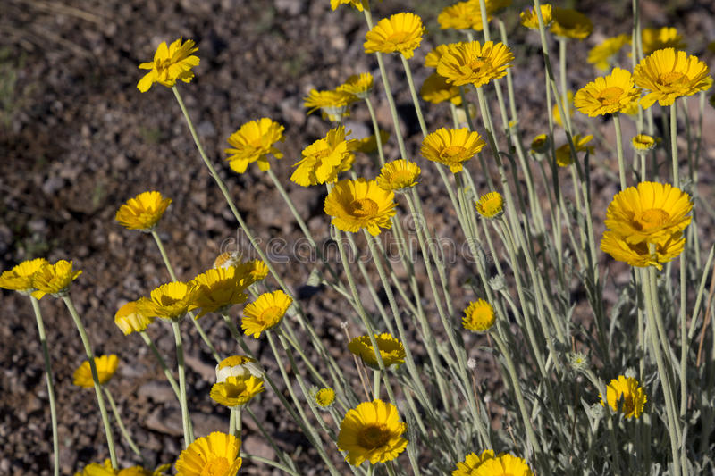 Desert marigolds herald Southwest spring. Desert marigold in Arizona, America`s Southwest. Location is Picacho Peak State Park on March 10, 2017. Spring royalty free stock photography