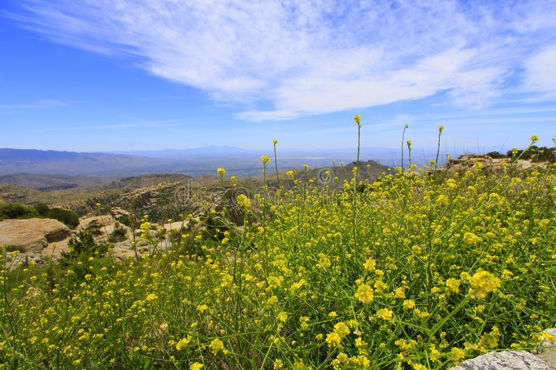 Yellow wildflowers and desert with Santa Catalina mountains in background stock photo
