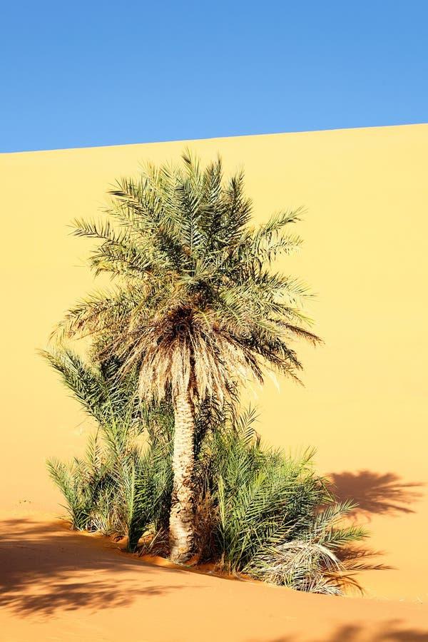 Desert Palm Stock Photos