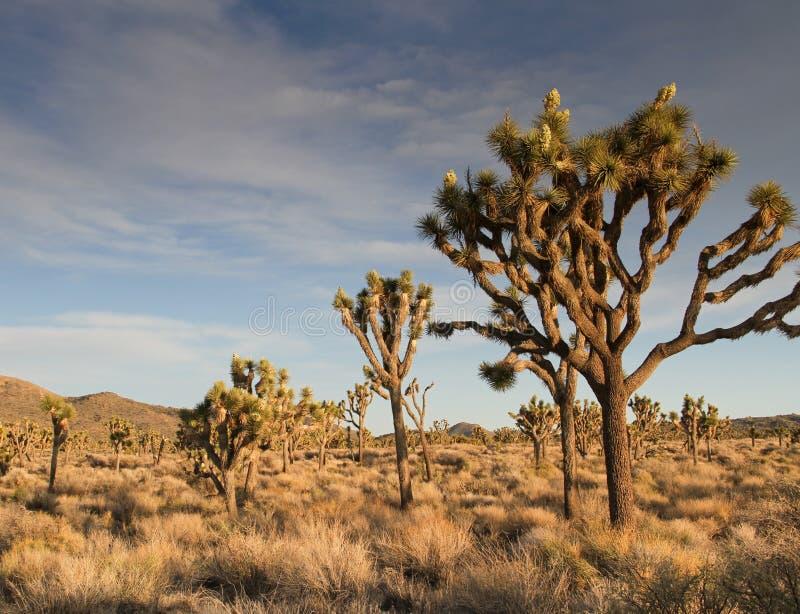 Desert Panorama of Joshua Tree flowers stock image