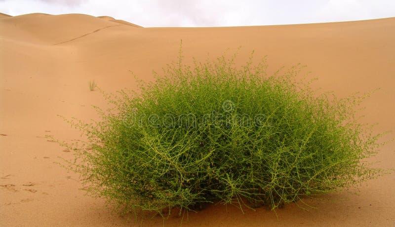 Desert plant royalty free stock photography