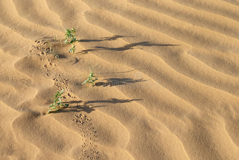 Desert plants, long shadows and traces on sand dunes. Desert plants Xanthium spinosum, long shadows and traces on sand dunes at summer evening royalty free stock photo