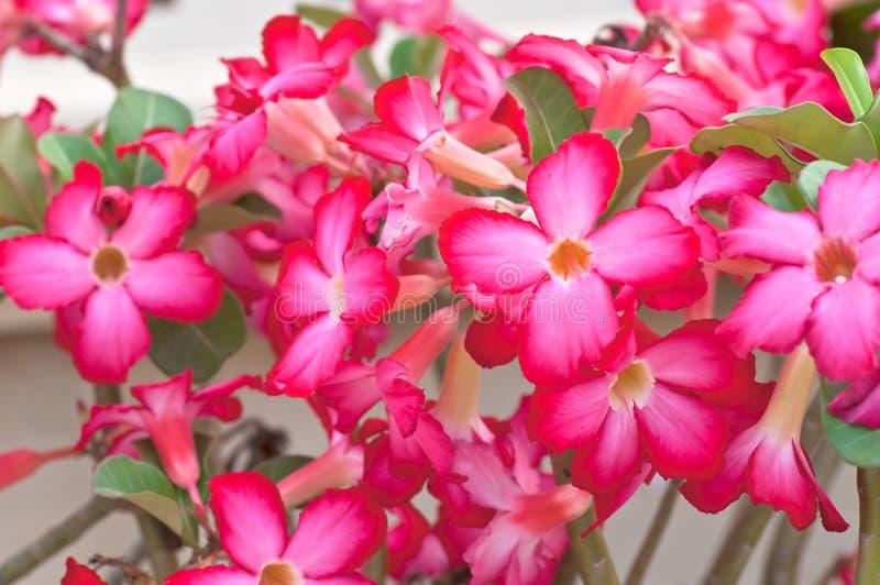 Download Desert Rose Royalty Free Stock Image - Image: 25389586