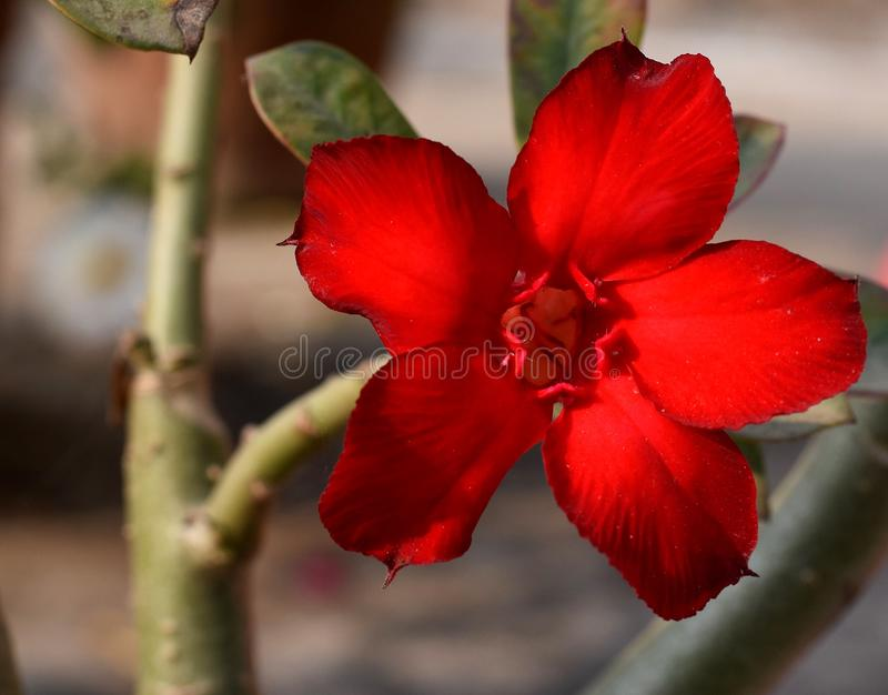 Desert rose. Adenium flowers are known as desert rose. A close up of scarlet red adenium flower being bloomed in garden royalty free stock photos