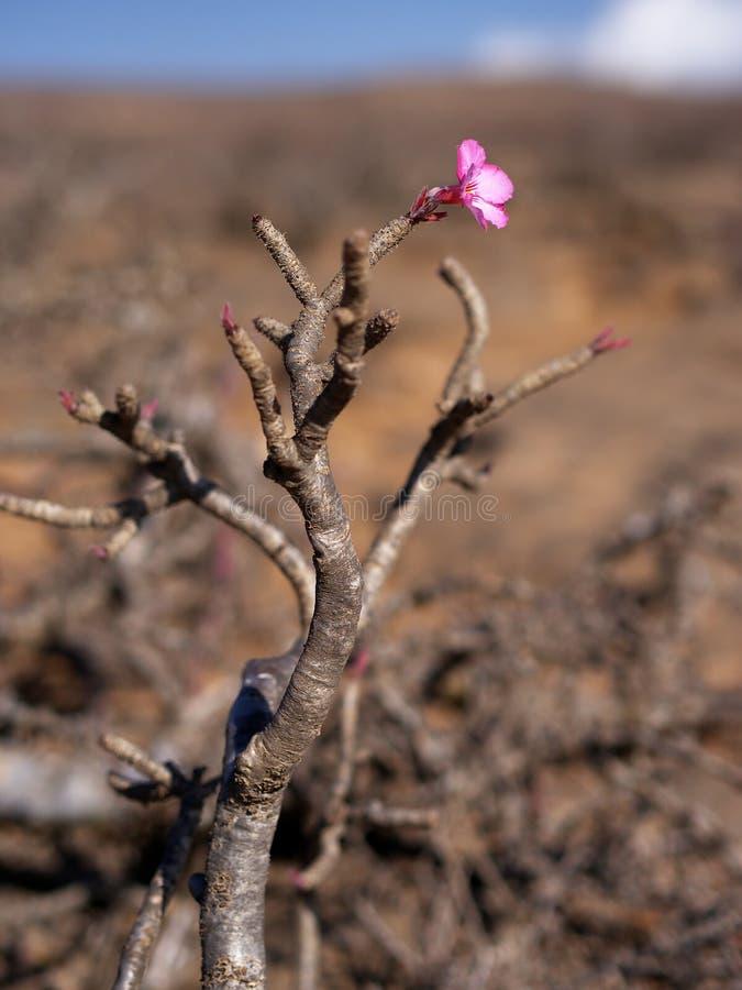 Desert Rose, Dhofar region, southern Oman royalty free stock photo