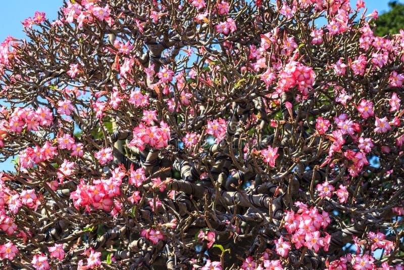 интерьерная цветы тайланда фото роза пустыни полным