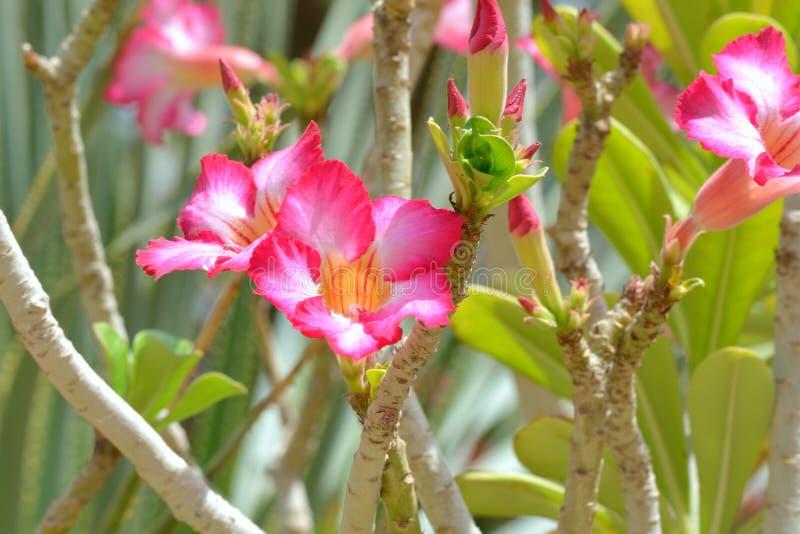 Download Desert Rose stock photo. Image of gardens, image, adenium - 31361140