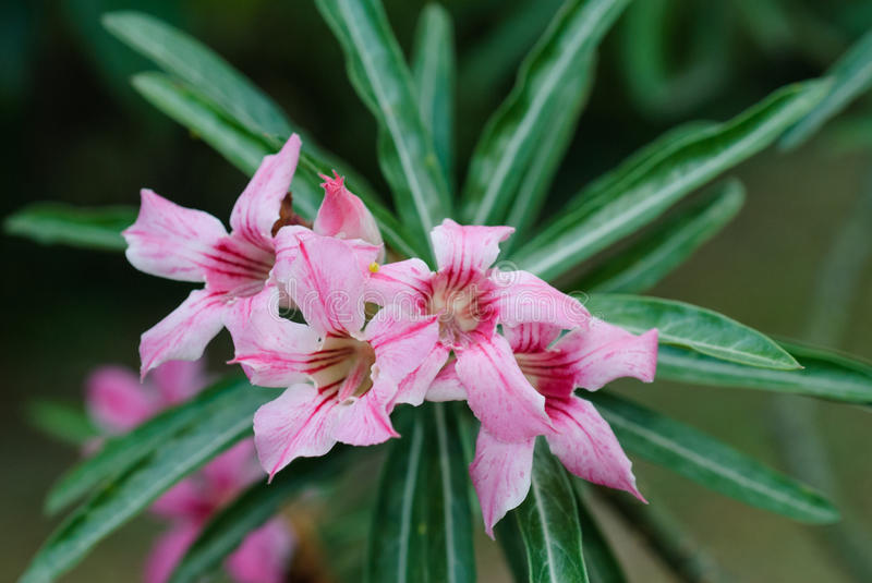 Desert Rose and Impala Lily. stock photos