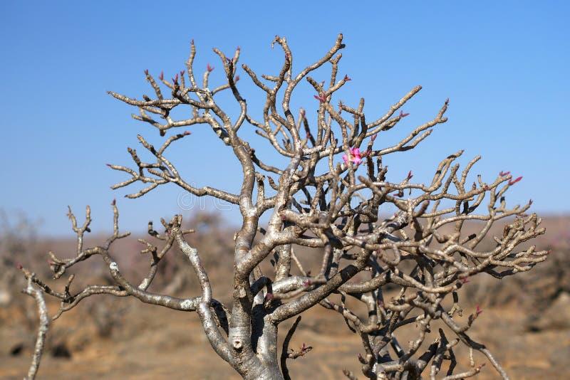 Desert Rose, Oman stock image