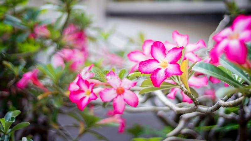 Desert of rose royalty free stock image
