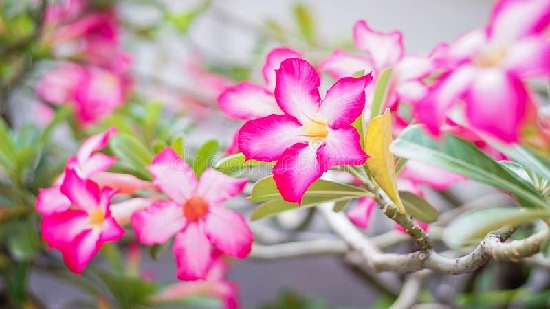 Desert of rose yeah stock photography