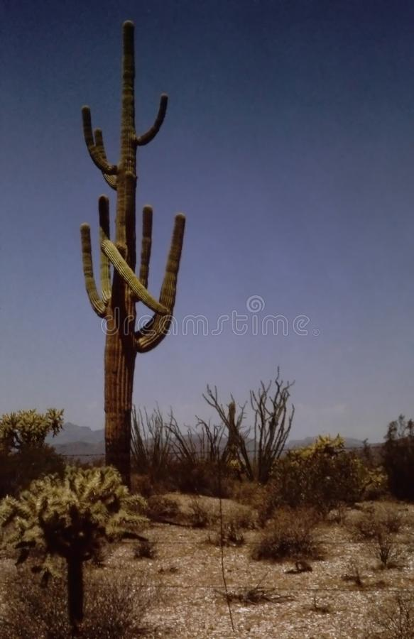 Desert with Saguaro and cactus in the  American Southwestand mountains in the distance. Desert with SaguaroCarnegiea gigantea and cactus and mountains in the royalty free stock photos