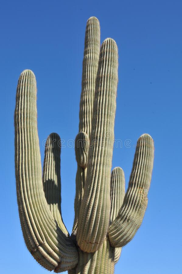 Free Desert Scene - Giant Saguaro Cactus - Close Up Royalty Free Stock Images - 177853399