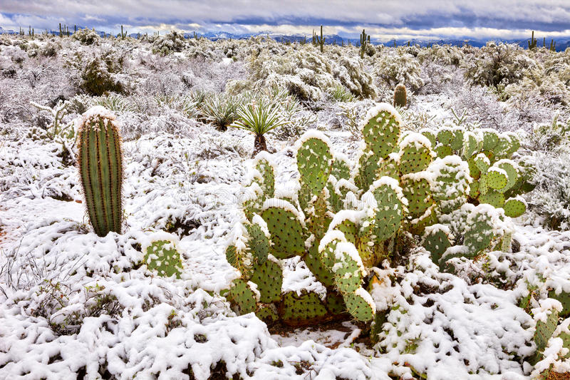 Desert. Snow covered Prickly Pear Cactus in Sonoran Desert after snow storm stock image