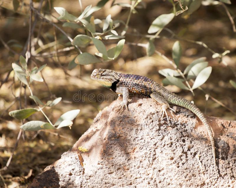 Desert spiny lizard. Colorful desert spiny lizard showing distinctive black band stock photos