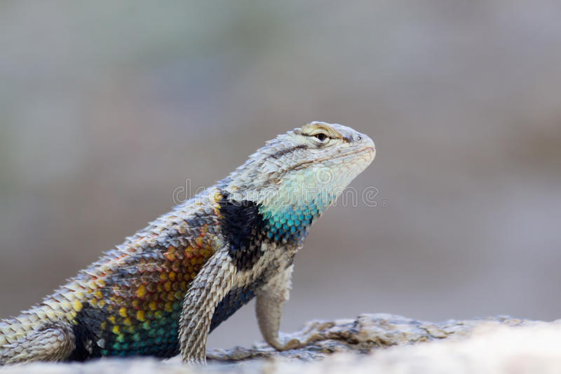 Desert Spiny Lizard. Colorful desert spiny lizard found in Palm Canyon, near Palm Springs, CA stock image