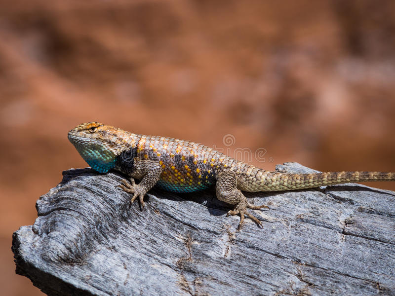 Desert Spiny Lizard in Coyote Gulch. A Desert Spiny Lizard suns itself on a log in Coyote Gulch, Escalante, Utah royalty free stock photos