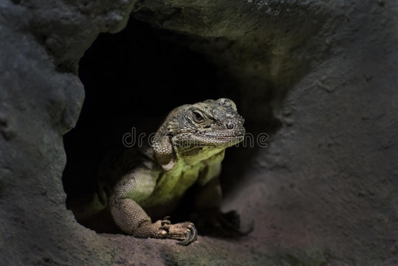 Desert Spiny Lizard. Is lurking from hole in rock stock image