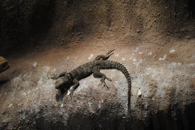 Desert spiny lizard (Sceloporus magister) royalty free stock photography