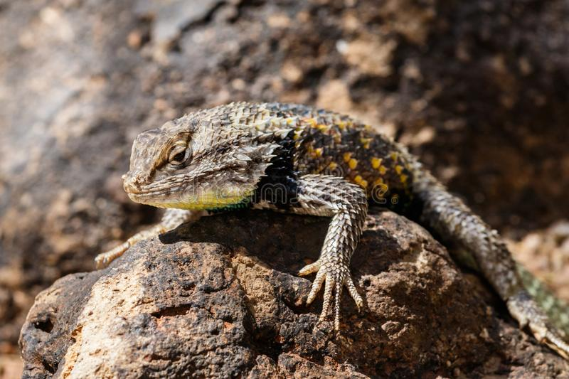 Desert Spiny Lizard on rock. Desert Spiny Lizard sunning on a dark colored rock, with brightly colored scales, In Arizona`s Sonoran desert royalty free stock photography