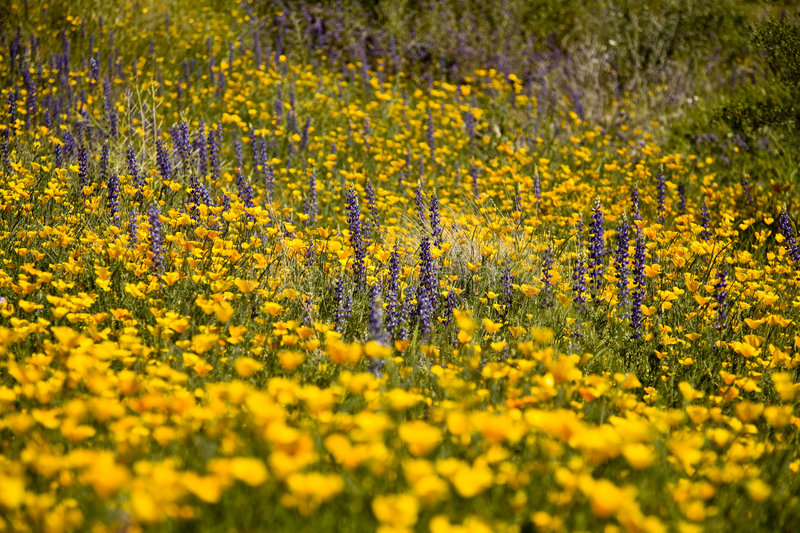 Download Desert Spring Wildflowers Stock Image - Image: 5732051