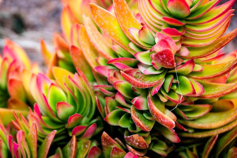 Desert Succulents of the Kalahari. High resolution large image of a desert succulent in the Kalahari Northern Cape South Africa royalty free stock image