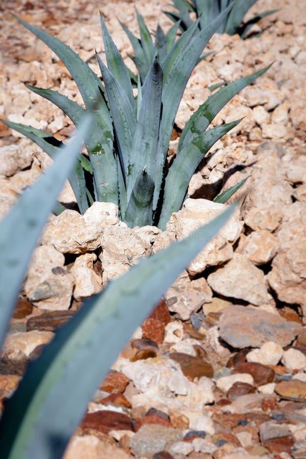 Desert Succulents of the Kalahari. High resolution large image of a desert succulent in the Kalahari Northern Cape South Africa stock photos