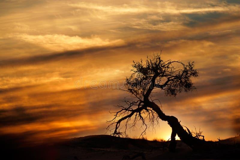 Desert sunset, Kalahari desert. Tree silhouetted against a setting sun, Kalahari desert, South Africa stock image