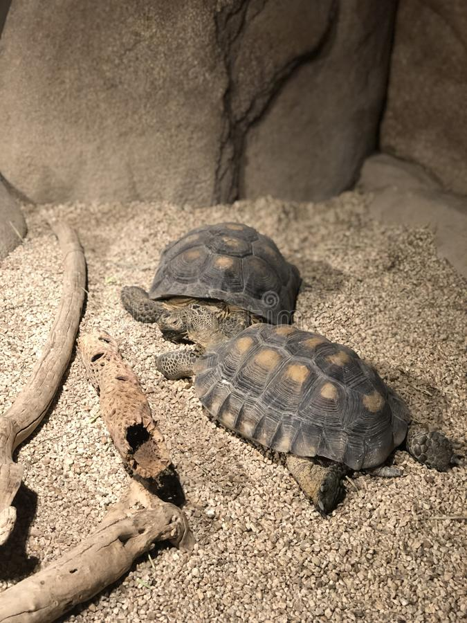 Desert. Tortoise amphibians in the  looking for food stock photography