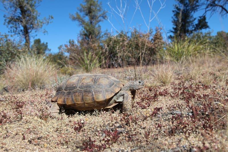 Desert Tortoise in Arizona. A desert tortoise in the arizona desert stock images