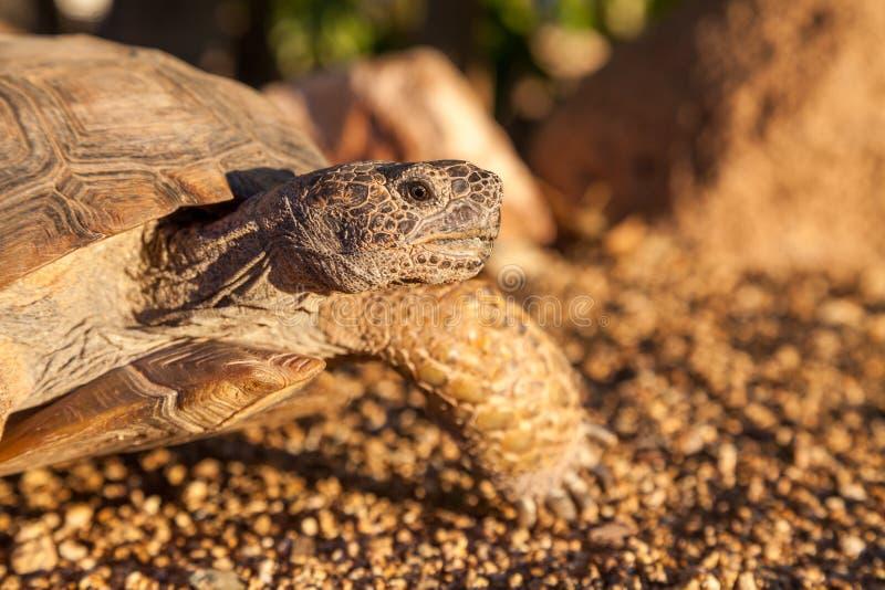 Desert Tortoise in Arizona. A cute desert tortoise in Arizona stock photo